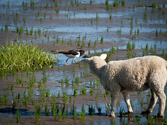(unbunt.me) Tags: bird sheep olympus lamb vogel schaf lamm strandlufer