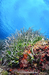 Posidonia oceanica (Xavier Mas Ferr) Tags: blue green ibiza eivissa mediterrneo mediterraneansea baleares balears sessalines bentos posidonia ecosistema posidoniaoceanica parcnaturaldesessalinesdevissaiformentera