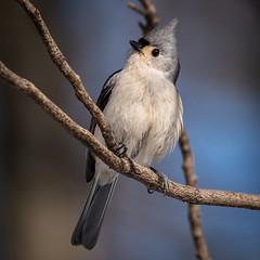 Tufted Titmouse, York County, PA [Explore 7 February 2016] (Blackrock23) Tags: bird nature pennsylvania wildlife titmouse songbird tuftedtitmouse yorkcounty nikond810 nikon200500