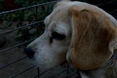 Pole. (Javiera Arriaza Seplveda) Tags: chile santiago dog pet beagle face reja eyes nikon ojos d3200