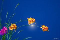 Flowers (satochappy) Tags: flowers blue wild sky plant yellow bluesky
