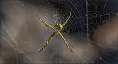 4046-   Cuban Spider (canuckguyinadarkroom) Tags: