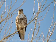 Hawk on Perch (eharrisphotos) Tags: fauna colorado hawk