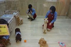 DSC07989 (yukichinoko) Tags: dog dachshund 犬 kinako ダックスフント ダックスフンド きなこ