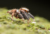 Salticidae profile. ~5mm (David Ball.) Tags: singapore jumpingspider salticidae canon270ex