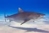 003 (sharkoperator) Tags: fiji tigersharks swimmingwithsharks sharkdiving tigerbeach greatwhitesharks guadalupeisland bullsharks beqalagoon sharkdiver