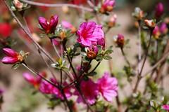 Azalia Rosa (jcmdn_87) Tags: pink flores flower planta luz canon garden flor jardim contraste corderosa azalia desabrochar