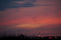 Sunset and starlings (rkramer62) Tags: march starlings subset grandvillemichigan rkramer62