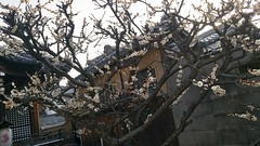 Japanese Plum (ume) Blossoms (cw's) Tags: japanese plum cherryblossoms umeblossoms