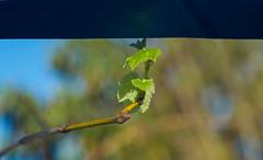 First Grape Leaves 2016 (Palenquero Quercus agrifolia) Tags: 90mm f28 elmarit leicam8 teleelmaritm teleelmarit90mmf28
