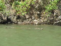 "Cañon del Sumidero: crocodile à babord! <a style=""margin-left:10px; font-size:0.8em;"" href=""http://www.flickr.com/photos/127723101@N04/25085674993/"" target=""_blank"">@flickr</a>"