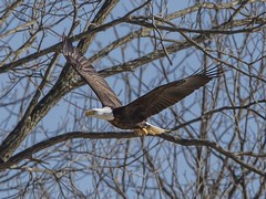 BALD EAGLES EAT CHICKEN 3 OF 13 (nsxbirder) Tags: chicken baldeagle indiana haliaeetusleucocephalus brookville whitewaterriver franklincounty leveeroad