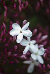 Jasmine #3 (msuner48) Tags: flower jasmine fragrant flowering blossoming blooming cs4 d600 topazlabs acr5 micronikkor105mm128ged imminentspring