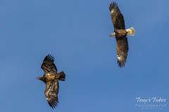 Bald Eagles battle for breakfast - Sequence - 4 of 42