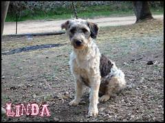 Linda (santuariolacandela) Tags: españa spain linda femaledog adoption mestiza hembra fosterhome acogida adopción cabezalavaca santuariolacandela