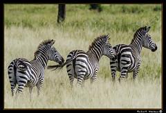 Tarangire 2016 13 (Havaux Photo) Tags: elephant robert rio river tanzania photo lion ostrich leon zebra antelope avestruz giraffe gazelle elefant antilope tarangire elefante riu gacela cebra estru jirafa lleo tarangirenationalpark antilop gasela havaux