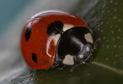 Sun brings out the ladybirds! (Chris Bainbridge1) Tags: macro 7 ladybird spotted stacker coccinella7punctata focusstacking zerene canonmpe65 canonmr14ex focusrail septumpunctata