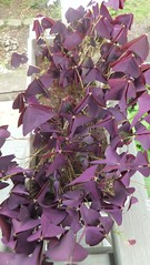 Purple oxalis (bylaurenfitz) Tags: garden purple gardening july container frontporch 2015 purpleoxalis purplefoliage