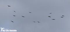 P1000584 - Chough, Bosherston Lakes (Adam Tilt) Tags: birds wales pembrokeshire chough stackpole bosherston