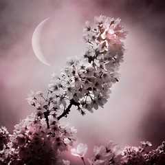 Sakura series (Nick Kenrick.) Tags: moon japanese spring blossom zen sakura victoriabc sakurahanami magicunicornverybest hipstamatic lucifervilens blankoc16film