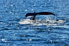 whale (jeannesalamin) Tags: ocean blue wild huge whales