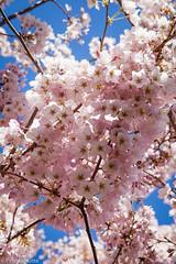 University of Illinois Arboretum (life is good (pete)) Tags: cherry blossoms arboretum universityofillinois urbana cherryblossoms uofi 24105mmf4 canon5dmkii