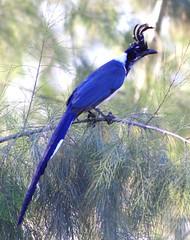 blue bird pretty crest bluebird longtail magpiejay blackthroatedmagpiejay calocittacolliei calocitta rainforestbird sheldonsbird bigbangtheorybird