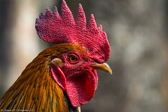 The red junglefowl (Gallus gallus) (Ganesh R. Mandavkar) Tags: red wild nature wildlife r ganesh gallus sahyadri the konkan wildindia junglefowl mandavkar