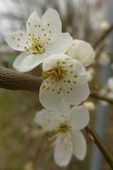 Schlehe (Prunus spinosa) (de.da.) Tags: prunus spinosa schlehe