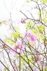 IMG_8808 -  Kwai Fong (Mak_Ho) Tags: flower canon photography hongkong vegetation    newterritories    kwaifong  tabebuiarosea 700d    kwaifongestate  kwaionhouse
