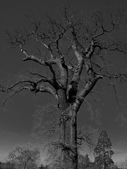 Trees at Spring  E4022045_01 (tony.rummery) Tags: england blackandwhite tree spring unitedkingdom bluesky olympus gb guildford omd barebranches em10 mft microfourthirds