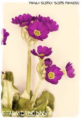 Primula scotica 'Scots Primrose' (farmer dodds) Tags: scotland orkney sutherland primula rare scots caithness primrose primulaceae scotsprimrose primulascotica