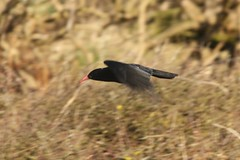 Red-billed Chough (pyrrhocorax pyrrhocorax) (mrm27) Tags: wales chough anglesey southstack rspb redbilledchough pyrrhocoraxpyrrhocorax pyrrhocorax