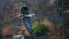 Spring Return (DaveGarPhoto) Tags: heron birds newjersey greatblueheron ringwood birdinflight signofspring cupsawlake