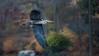 Spring Return (DaveGarPhoto) Tags: heron birds newjersey greatblueheron ringwood birdinflight signofspring cupsawlake