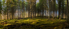 Spruce spruce (firetys) Tags: panorama forest finland spring nikon tokina spruce hdr d810