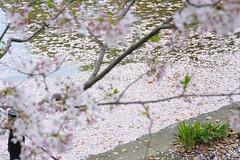 20160410-DSC_8505.jpg (d3_plus) Tags: sky plant flower history nature japan trekking walking temple nikon scenery shrine bokeh hiking kamakura fine daily bloom  28105mmf3545d nikkor    kanagawa   shintoshrine   buddhisttemple dailyphoto   thesedays kitakamakura  28105   fineday   28105mm  historicmonuments  zoomlense ancientcity       28105mmf3545 d700 281053545 nikond700  aiafzoomnikkor28105mmf3545d 28105mmf3545af aiafnikkor28105mmf3545d