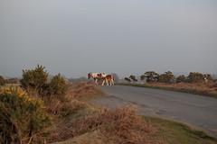 Final major project on Dartmoor ponies (Marie-Louise Garratt) Tags: trees sunset horse sun nature animal landscape golden nationalpark wildlife plymouth pony devon ponies dartmoor goldenhour welfare yelverton