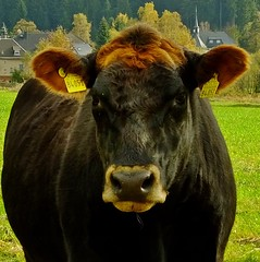 Monday face (fleckchen) Tags: pet pets animals tiere kuh cow cows haustier khe haustiere frhling tierisch nutztiere nutztier weidetiere