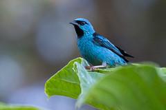 Blue Dacnis (Dacnis cayana) - male (Rodrigo Conte) Tags: blue brazil male bird brasil ave macho brasilia dacniscayana sa thraupidae passeri fantasticnature saazul cayana dacnis brasilemimagens coerebicolor dacniscoerebicolor