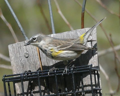 Yellow-rumped Warbler (jaybirding) Tags: bird me animal us outdoor maine brunswick rossmore stormer leicavlux114