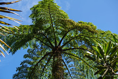 Cyathea robusta tree fern on Mt Gower summit (NettyA) Tags: plants forest flora australia hike nsw summit day6 bushwalk unescoworldheritage treefern lordhoweisland 2016 lhi cyatheaceae cyathea arfp mtgower lhrfp arffern cyathearobusta janetteasche lordhoweforclimate mtgowerclimb
