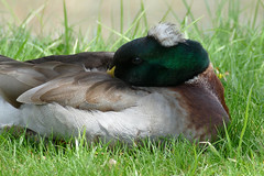 Sleeping Mallard (WMJ614) Tags: sleeping nature water duck sleep wildlife feather snooze fowl tuft