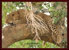 LEOPARD (Panthera pardus) ...MASAI MARA.....OCT 2015 (M Z Malik) Tags: africa nikon kenya wildlife safari leopard masaimara maraserena d3x transmara flickrbigcats exoticafricancats exoticafricanwildlife 200400mm14afs