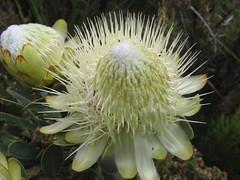 Protea (John Steedman) Tags: africa flower trek kenya afrika kenia protea afrique eastafrica mountkenya ostafrika     afriquedelest