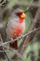 Pyrrhuloxia (Bengal Thrush) Tags: arizona bird az aba pyrrhuloxia avian cardinalissinuatus