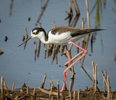 Black-necked Stilt (tresed47) Tags: birds us content places delaware folder waders takenby 2016 bombayhook peterscamera petersphotos stiltblacknecked canon7d 201604apr 20160425bombayhookbirds
