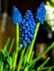 Frhlingserwachen (Patrick29985) Tags: flower spring balkon sony blume blte flowerpower frhling hyazinthe frhlingserwachen traubenhyazinthe sonyalpha sonyalpha77ii