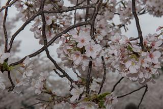 Blossoms.3.26.16.Khalid.Naji-Allah-17