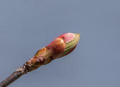 Unknown Plant Bud  1Z9A4523 (DCLbyrdnyrd) Tags: plant negativespace bud minimalism